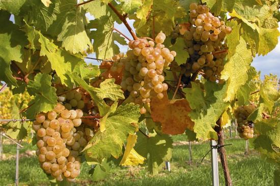 Weingarten - Weingut Rabl - Langenlois